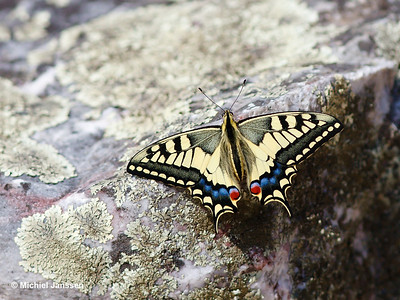 Papilio machaon - Koninginnenpage - Common Yellow Swallowtail - Macáon
