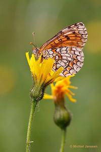 Melitaea deione - Spaanse parelmoervlinder - Provençal Fritillary - Doncella ibérica