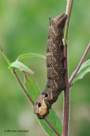 Deilephila elpenor - Groot Avondrood - Elephant Hawk-moth
