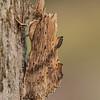 Pterostoma palpina - Snuitvlinder - Pale Prominent - Jorobada de palpos