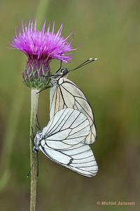 Aporia crateagi - Groot geaderd witje - Black-veined White - Blanca del majuelo