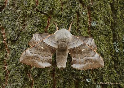 Laothoe populi - Populierenpijlstaart - Poplar Hawk-moth - Esfinge del chopo