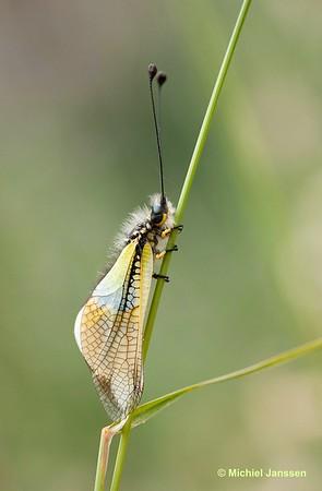 Libelloides baeticus -
