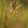 Argiope bruennichi - Wespspin - Wasp Spider - Araña avispa