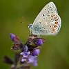 Polyommatus thersites - Esparcetteblauwtje - Chapman's Blue - Celda limpia