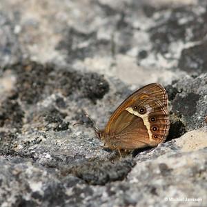 Pyronia bathseba - Spaans oranje zandoogje - Spanish Gatekeeper - Lobito listado