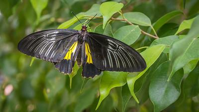 Powell Garden Butterflies-5