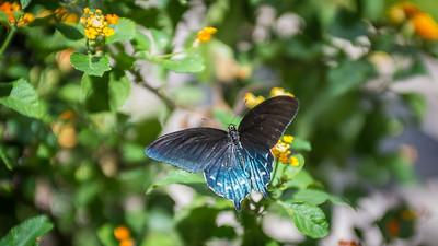 Powell Garden Butterflies-1-4