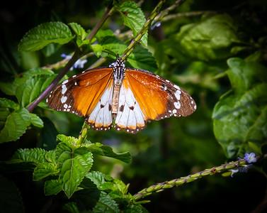 Butterflies from Ado Ekiti, Danaus chrysippus (tiger or African Monarch)