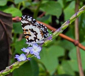 Butterflies from Ado Ekiti Nigeria, Castalius rosimon, Common Pierrot