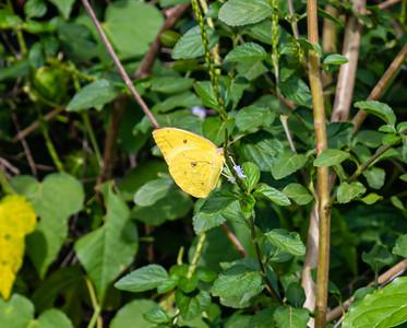 Butterflies from Ado Ekiti, Yellow butterfly, Phoebis sennae, the cloudless sulphur or cloudless giant sulphur