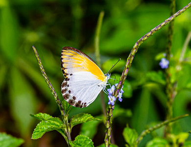 Butterflies from Ado Ekiti, Yellow and white butterfly, Mylothris spica on VERVAIN flower