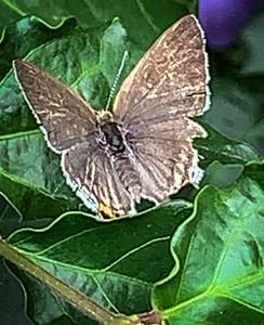 Butterfly from Lekki Lagos Nigeria, Gray Hairstreak, Strymon melinus