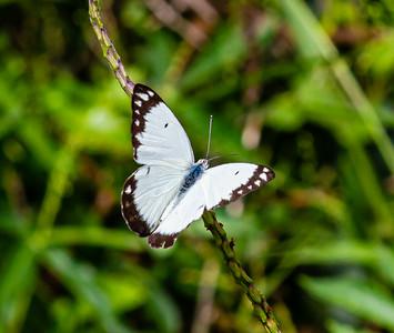 Butterflies from Ado Ekiti,  Belenois aurota, the pioneer or pioneer white or caper white,