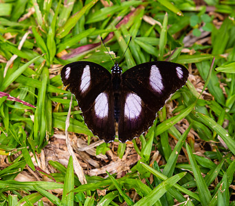 Ado Ekiti butterflies; Black and white butterfly. Hypolimnas misippus male Hypolimnas misippus, the Danaid eggfly, mimic, or diadem,