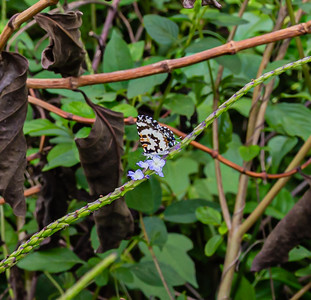 Butterflies from Ado Ekiti, Castalius rosimon - Common Pierrot striped multi colored small butterfly, white, brown, black, decorated butterfly,