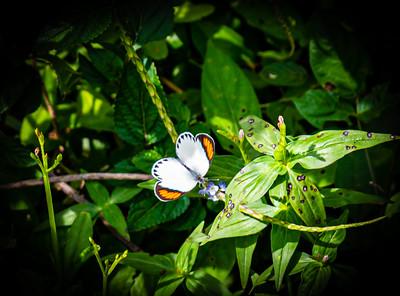 Butterflies from Ado Ekiti Nigeria, Colotis euippe (Smoky orange tip butterfly) male