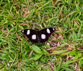 Ado Ekiti butterflies; Black and white butterfly. Hypolimnas misippus male