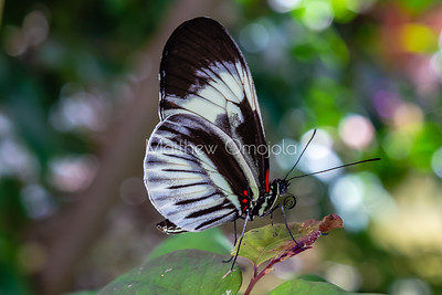 Longwing butterfly, white and black butterfly, heliconius butterfly,
