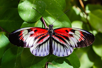 Black, red and white butterfly, heliconius, longwing butterfly,