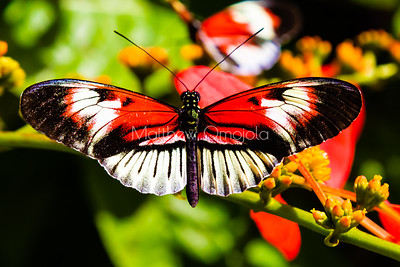 longwing butterfly, heliconius butterfly, black, red and white butterfly,