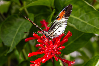 Black white red butterfly. Piano key postman heliconius melpomene butterfly longwing on a red flower