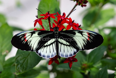 Black white red butterfly. Piano key postman heliconius melpomene butterfly longwing  on red flower