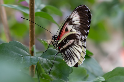 Heliconius butterfly, black, red and white butterfly, longwing butterfly,