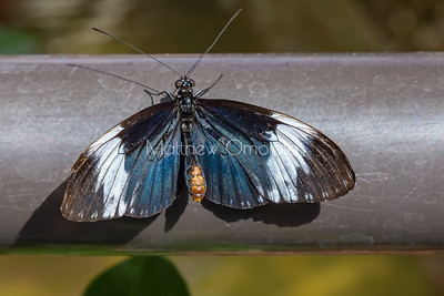 Black, white and blue butterfly