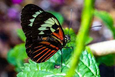 Black, white and red butterfly, Heliconius melpomene, longwing butterfly