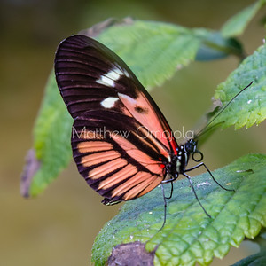 Black white red butterfly. Piano key postman heliconius melpomene butterfly longwing