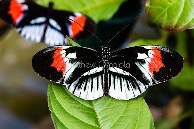 Black, white and red butterfly, longwing butterfly