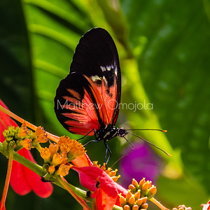 Black white red butterfly. Piano key postman heliconius melpomene butterfly longwing on yellow red flower