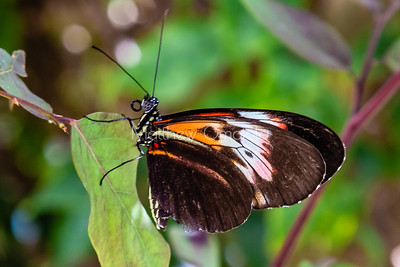 Brown, white, yellow and red butterfly, multicolored butterfly, longwing butterfly,