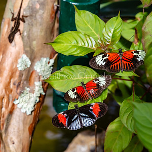 Three butterflies hanging out with a predator lizard standing by ready to pounce! Black white red butterfly. Piano key postman heliconius melpomene butterfly longwing