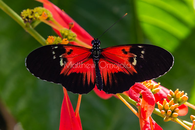 Red, black and white butterfly. Postman