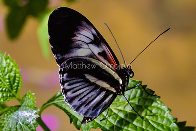 Heliconius melpomene, longwing butterfly, heliconius, black, red and white butterfly,