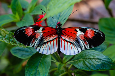 Black, white and red butterfly, longwing butterfly, heliconius melpomene,