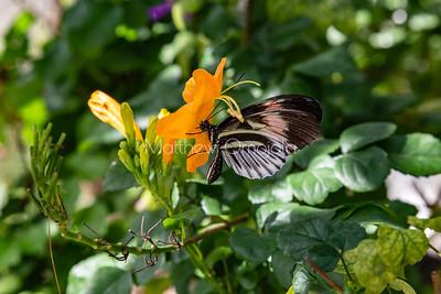 Black white red butterfly. Piano key postman heliconius melpomene butterfly longwing on yellow flower