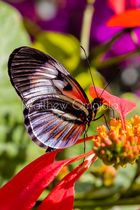 Black white red butterfly. Piano key postman heliconius melpomene butterfly longwing on red yellow flower
