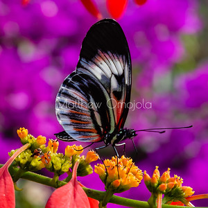 Black white red butterfly. Piano key postman heliconius melpomene butterfly longwing on yellow flower