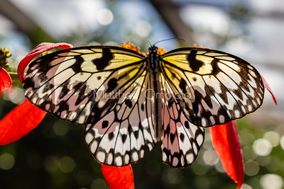 white, black yellow butterfly. Rice paper butterfly. Paper kite butterfly. Tree nymph butterfly.