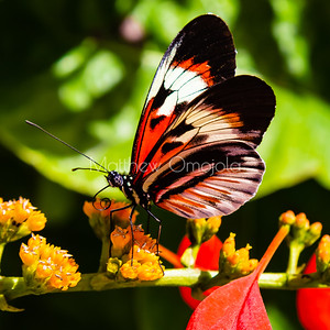 Heliconius melpomene, longwing butterfly, black, red and white butterfly,