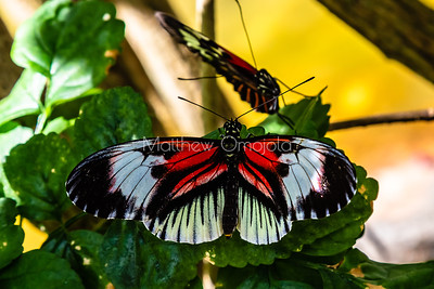 Black white red butterfly. Piano key postman heliconius melpomene butterfly longwing