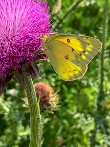 Colias eurytheme, the orange sulphur, also known as the alfalfa butterfly
