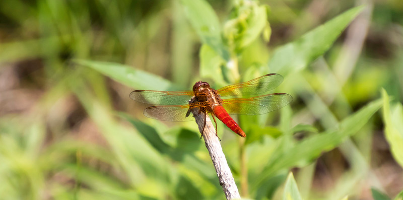 Closeup  looking down on a Red Flame Skimmer Dragon Fly