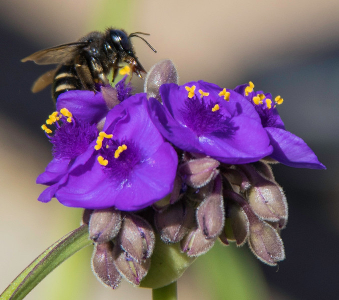 Closeup of Bee on purple wildflower