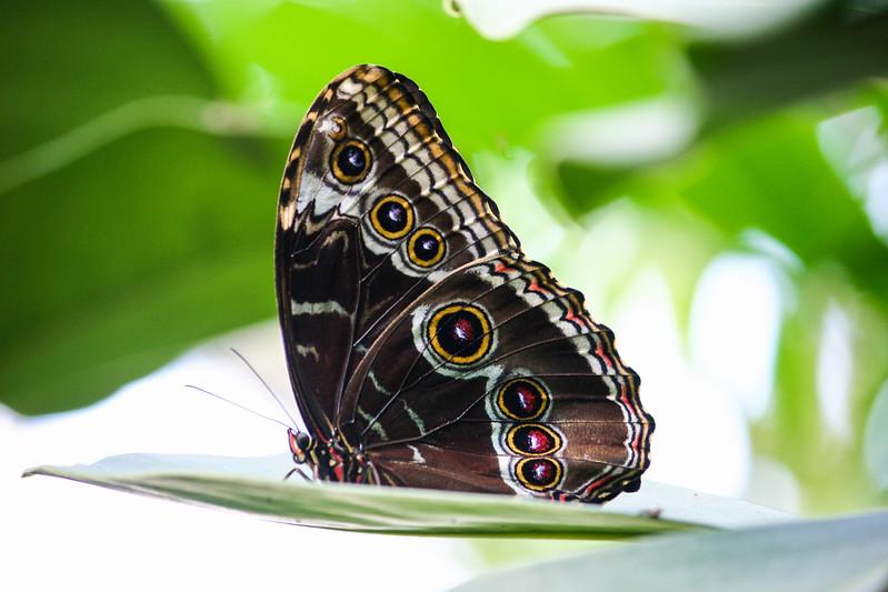 Closeup of eye spots on wings of Blue Morpho butterfly