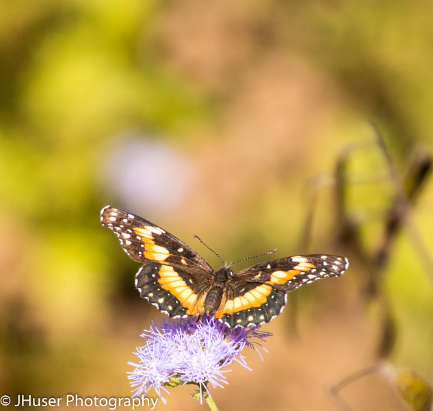 Black and orange Bordered Patch butterfly on purple flower