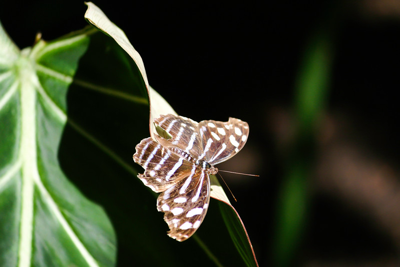 Brown butterfly with white stripes and spots on green leaf